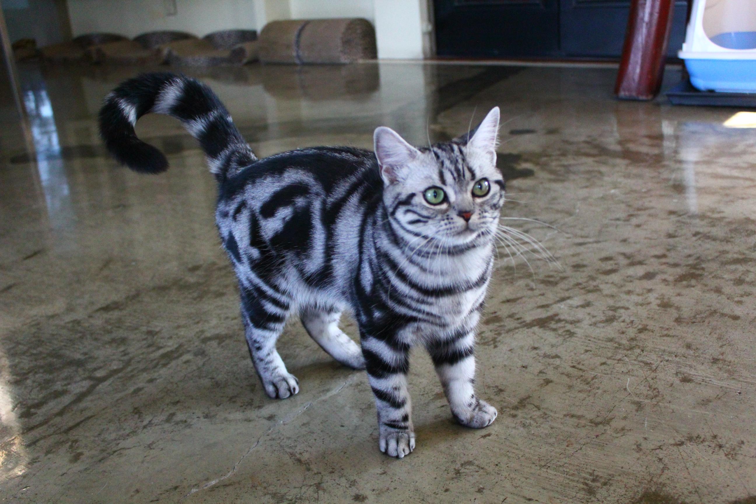 แมวอเมริกัน ช็อตแฮร์