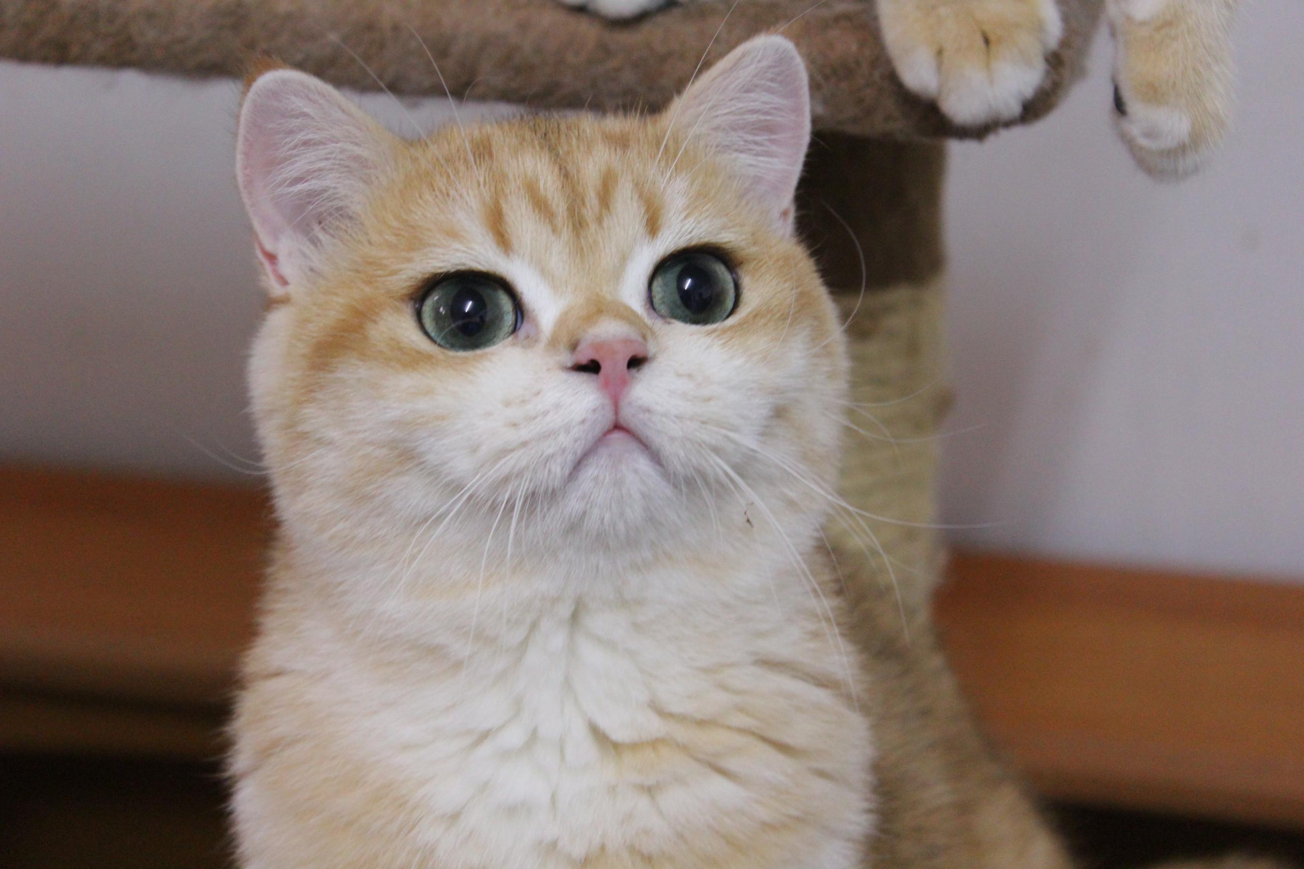 แมวบริติช ช็อตแฮร์