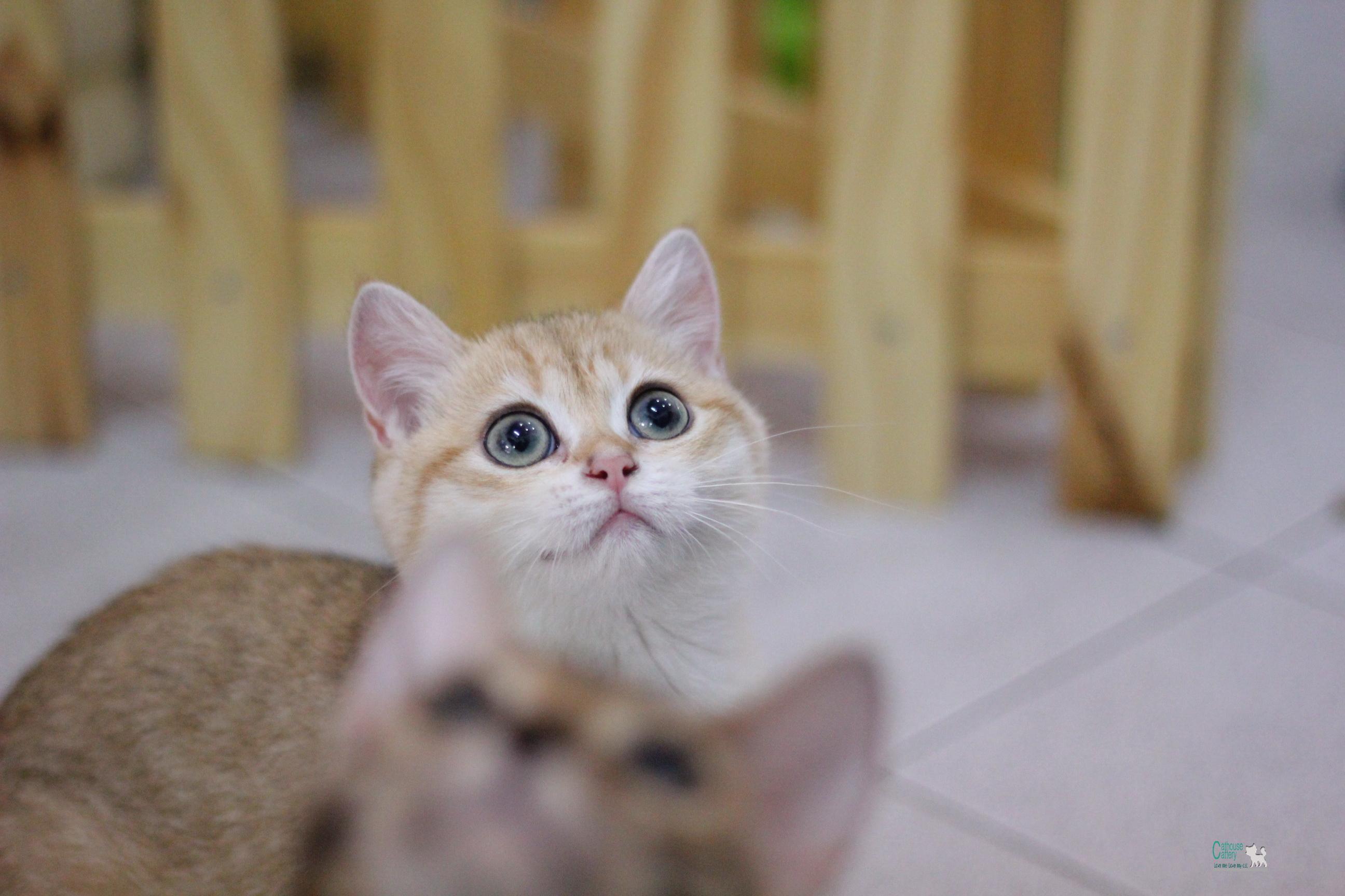 แมวบริติชช็อตแฮร์ />                                                                                                      <!-- post content -->                     <div class=