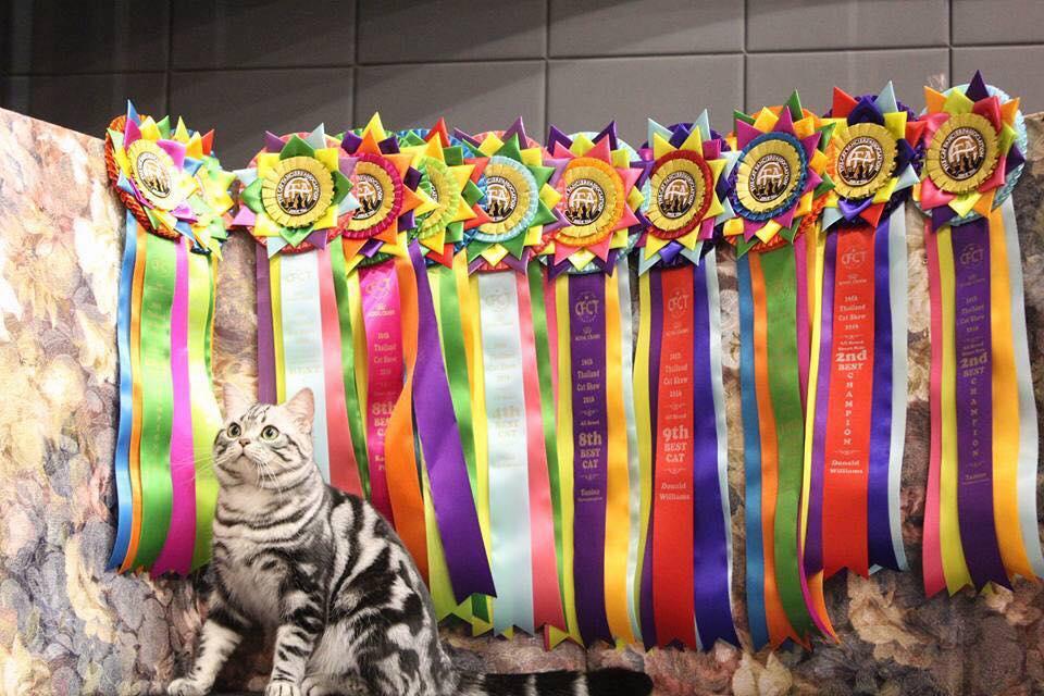 แมวเพ็ทไทย