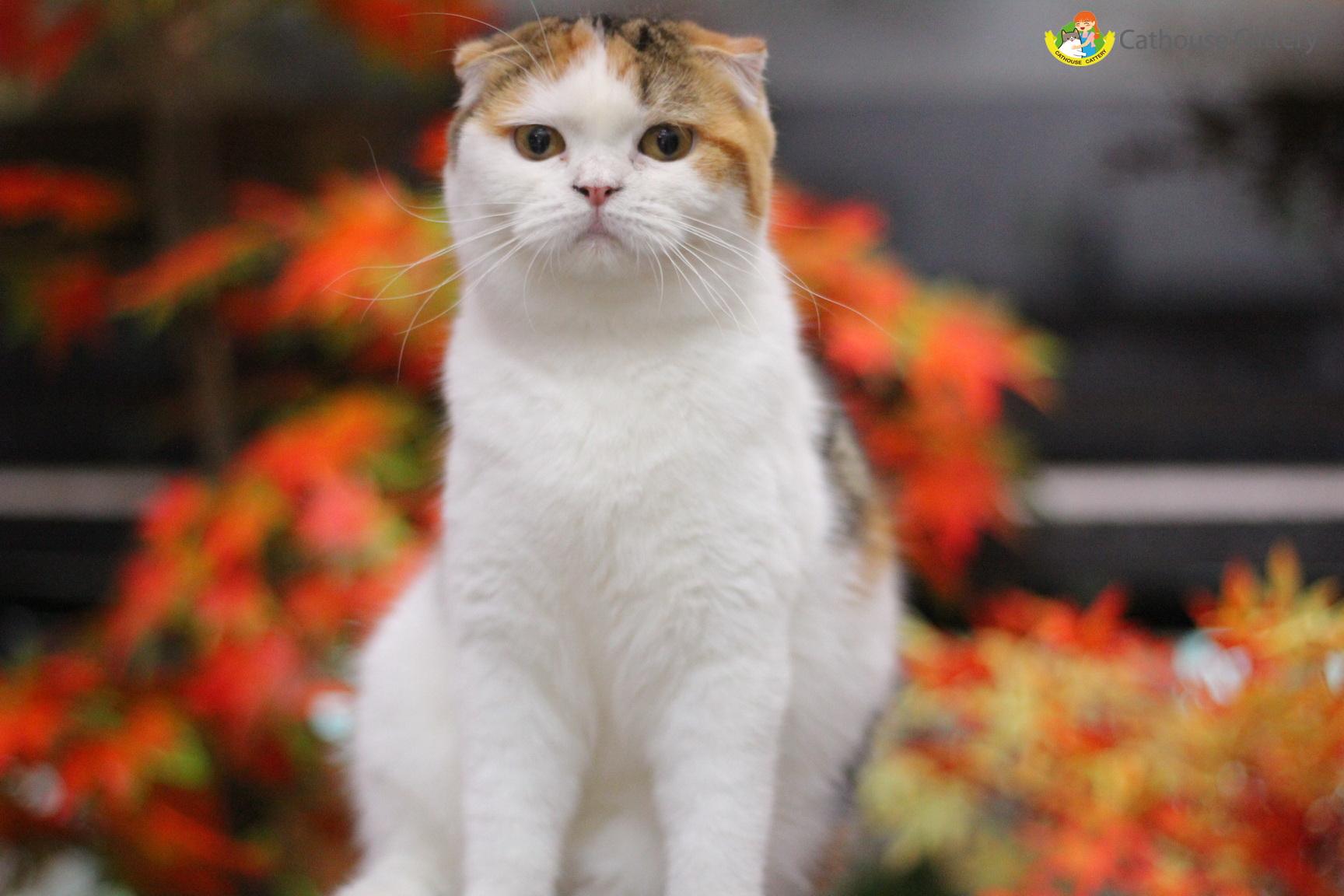 แมวสก็อตทิช โฟลด์ Scottish fold