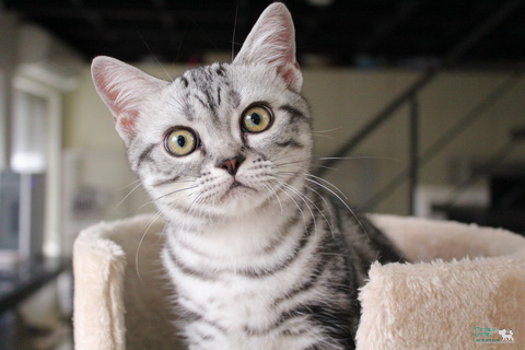 American Shorthair For Show