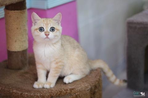 ลูกแมวบริติช ช็อตแฮร์
