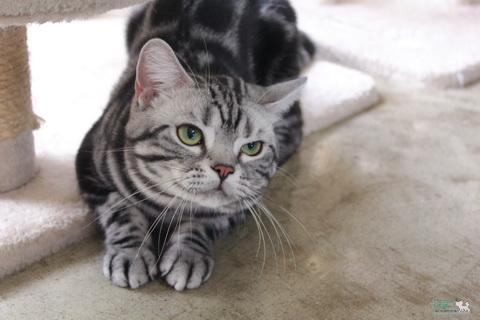 แมวสายพันธุ์ อเมริกัน ช็อตแฮร์