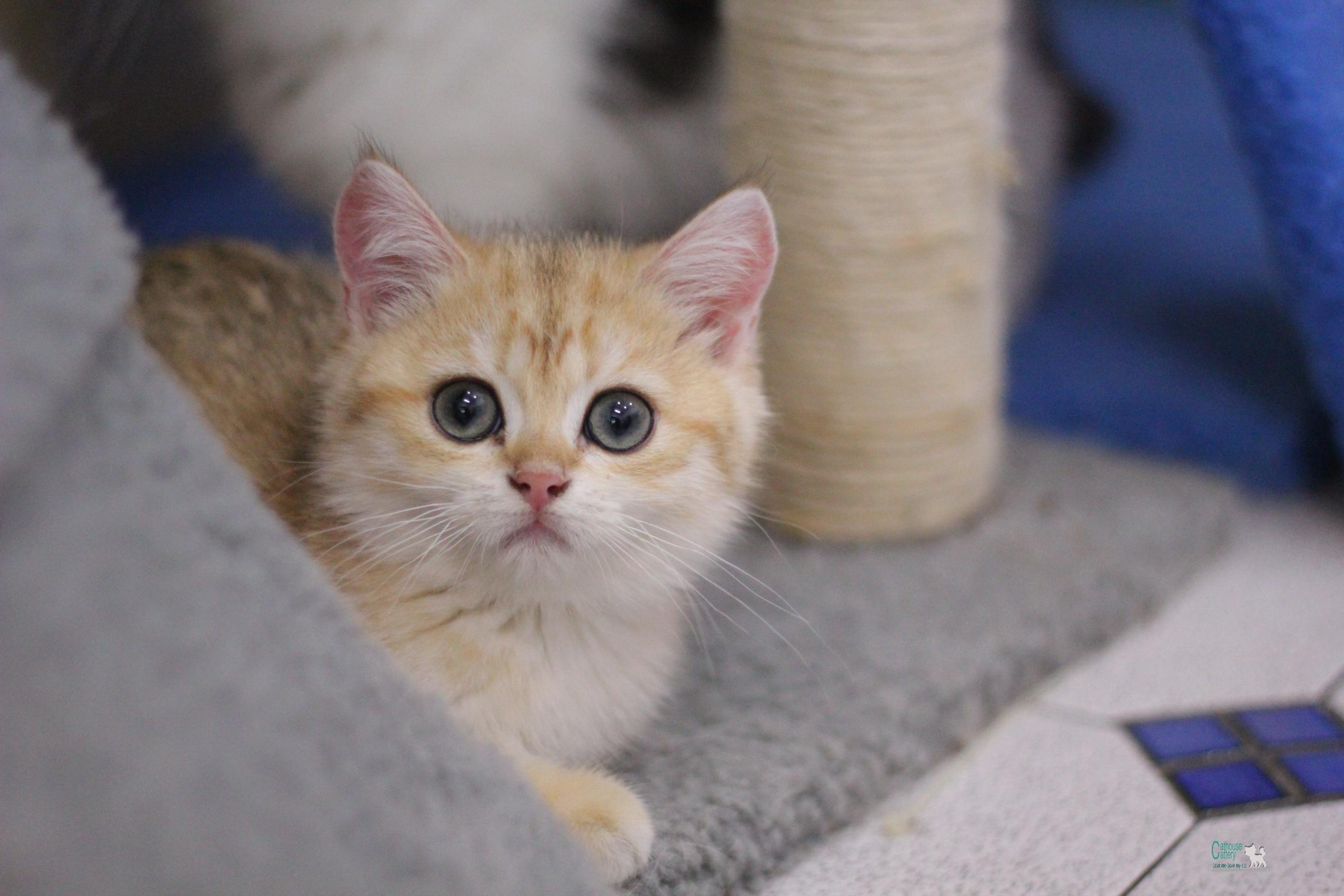 แมวสายพันธุ์ บริติช ช็อตแฮร์