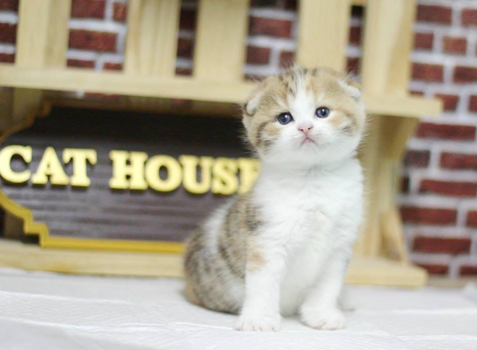 ฟาร์มแมว สก็อตทิชโฟลด์