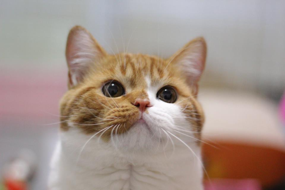ฟาร์มแมว สก็อตทิช โฟลด์