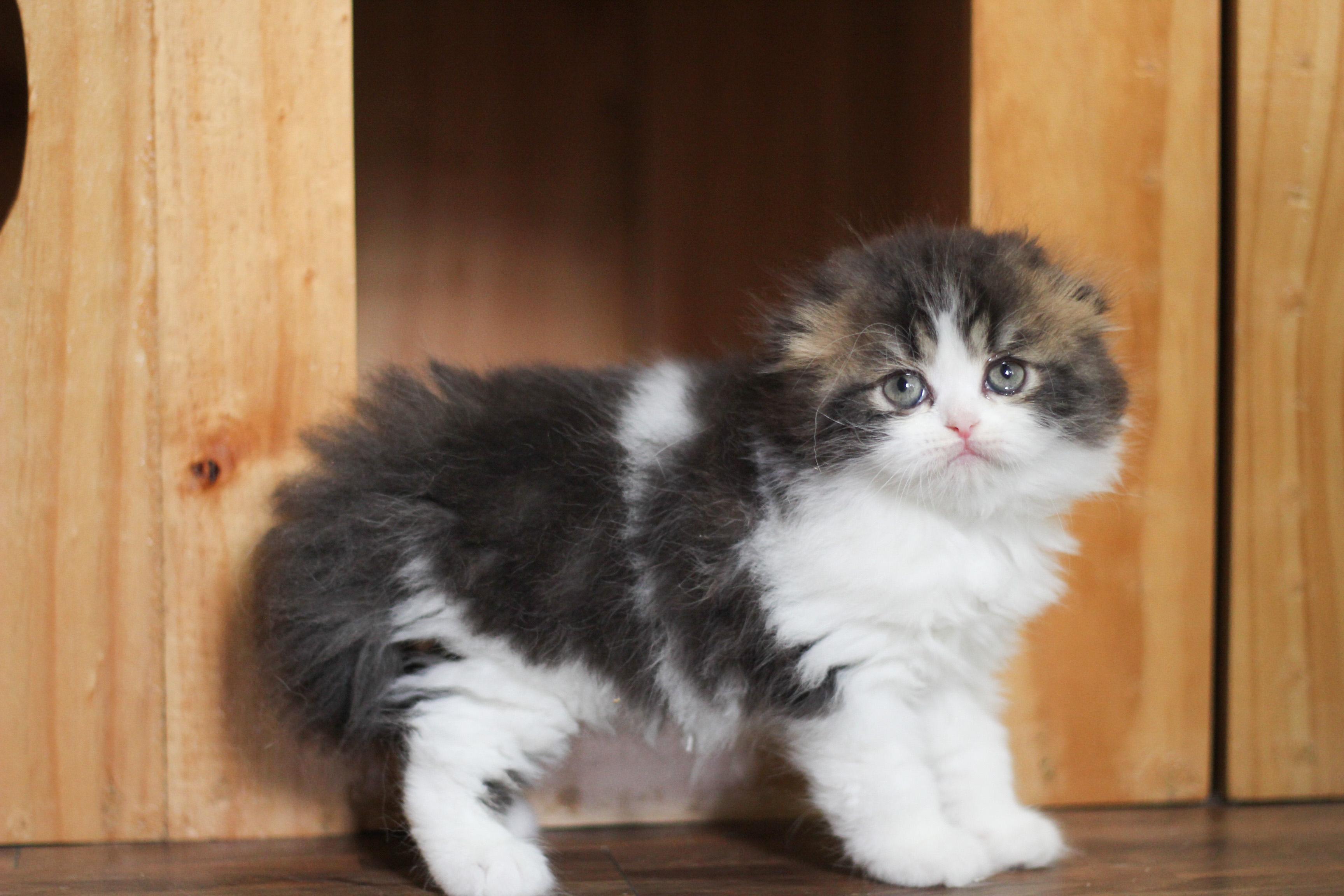 ขายลูกแมวสก็อตทิช โฟลด์จากฟาร์มแมว