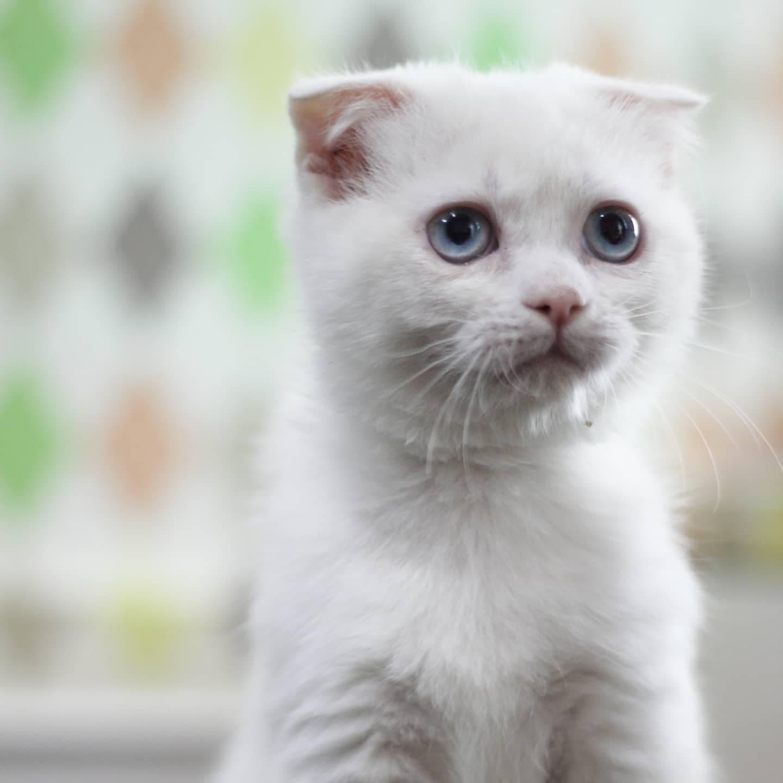 ขายลูกแมวสก็อตทิช โฟลด์