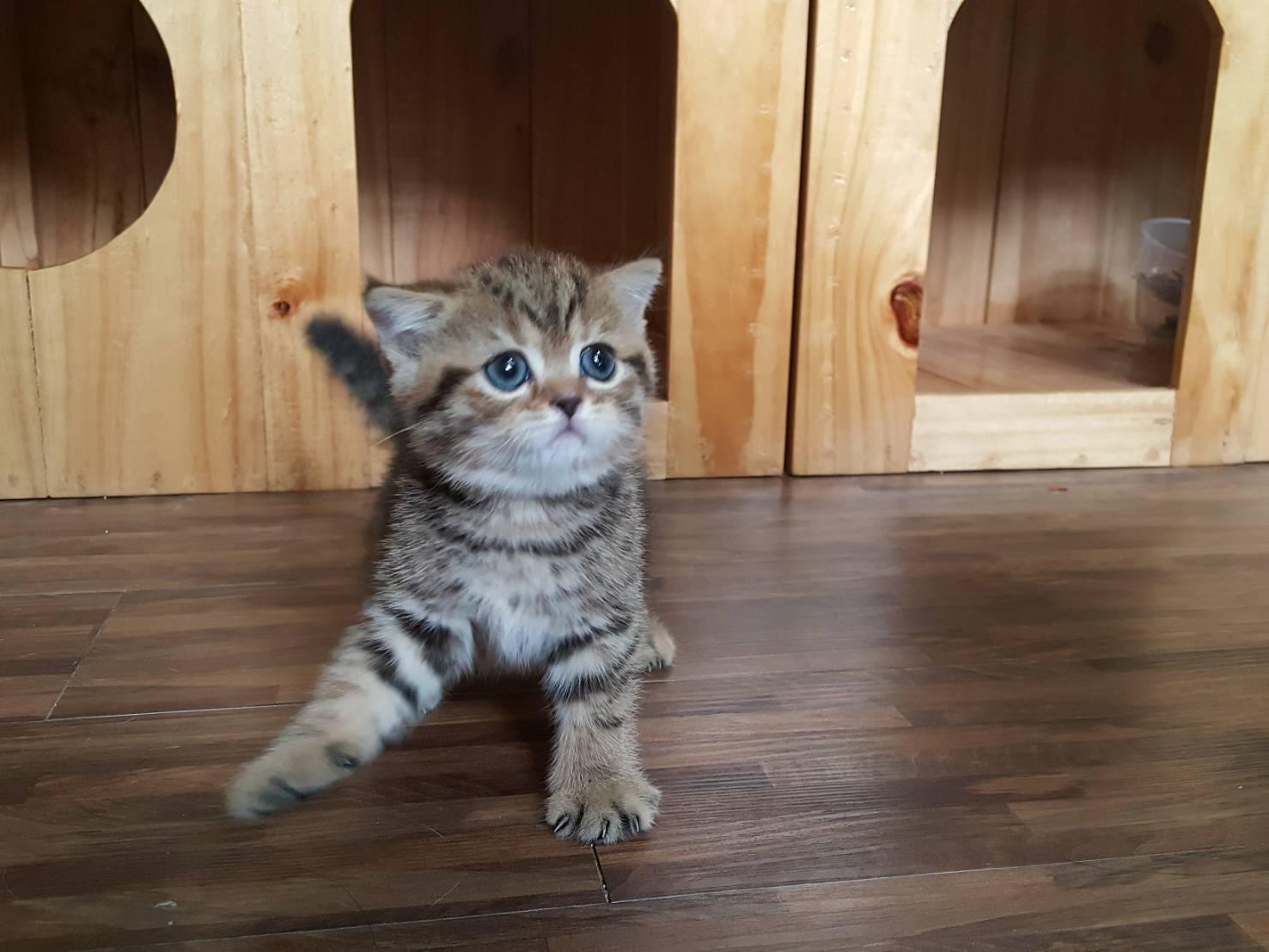 ลูกแมวสก็อตทิช โฟลด์